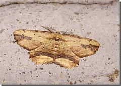 Menophra abruptaria mâle.