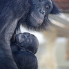 Haiba und ihr Baby (Wilhelma)