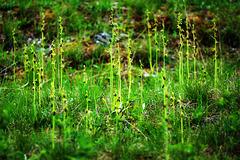 Massenvorkommen von Fliegenragwurz - A mass occurence of fly orchid - mit PiP