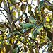 Leckeres für den Halsbandsittich im Magnolienbaum
