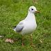 Seagull (2)