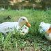 Les canards de Commequiers