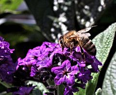 Kleine Biene auf Vanilleblume (Pic in Pic)