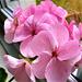 Lovely pink geranium - new colour