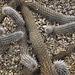 Creeping Devil, Take #1 – Desert Botanical Garden, Papago Park, Phoenix, Arizona