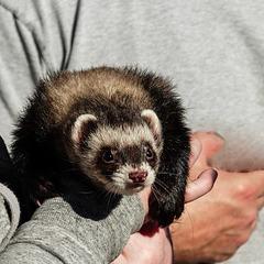 Pet 'rescue' Ferret