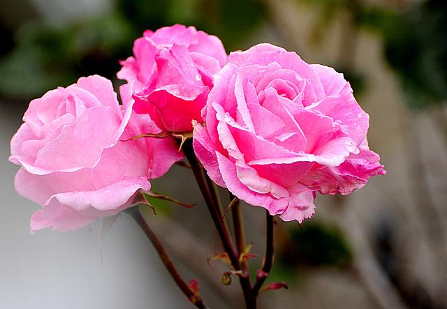 Lovely Roses in Lerwick