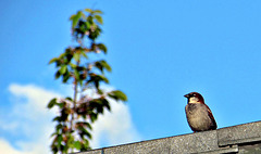 Sparrow On Our Roof.