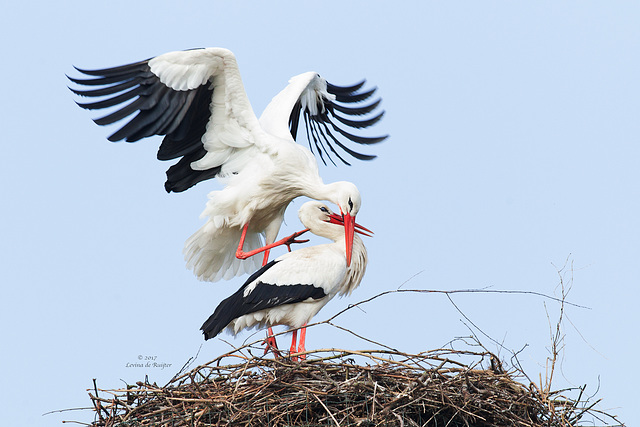 White Stork / Ooievaar (Ciconia ciconia)