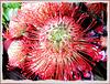 Leucospermum cordifolium - Nadelkissen. ©UdoSm