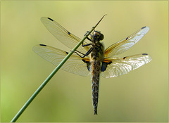 New born Four-spotted chaser (Libellula quadrimaculata), 5...