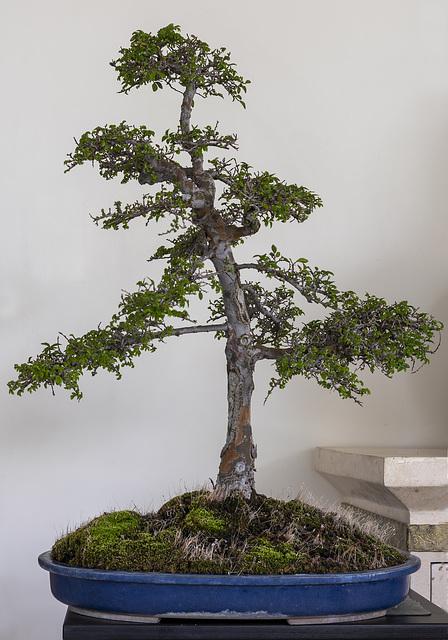 Chinese Elm.