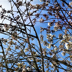 New blossom on cherry tree.