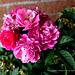 Une rose pour vous mes dames