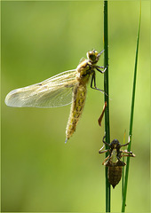 New born Four-spotted chaser (Libellula quadrimaculata), 4...