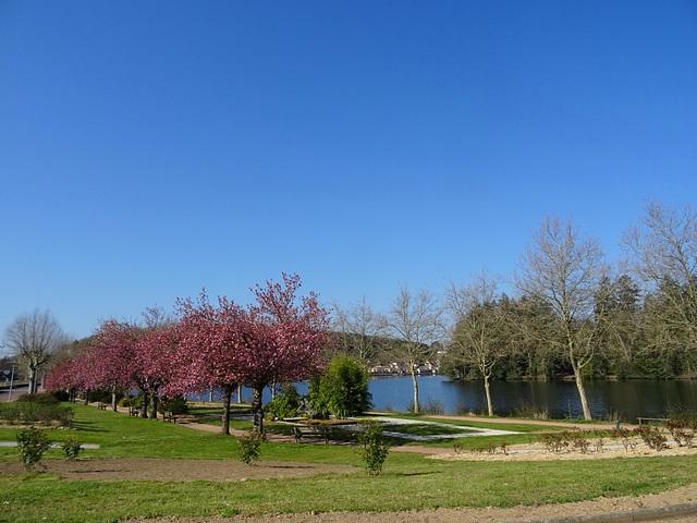 Les cerisiers d'ornement ont résisté au gel / Ornamental cherry trees withstood the frost