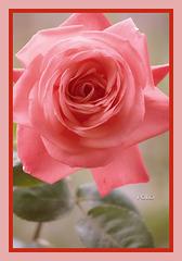 Rosa y cartucho de mayo (+1 PiP)