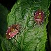 Hairy Shieldbug (Dolycoris Baccarum)
