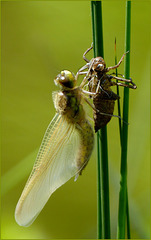New born Four-spotted chaser (Libellula quadrimaculata), 3...