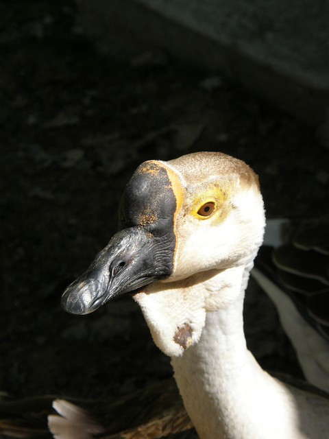 Goose at Montana Zoo
