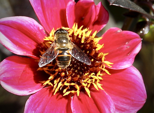 Gemeine Doldenschwebfliege auf Blüte Sonnenbraut