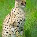 Serval cat (2)