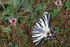 IMG 0781 le FLAMBÉ ou VOILIER (Iphiclides podalirius) ! (Lépidoptère Papilionidae )