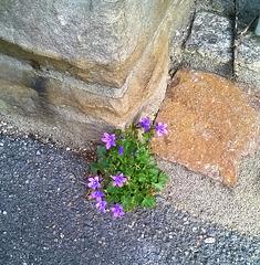 Eckensteher-Mauerblümchen