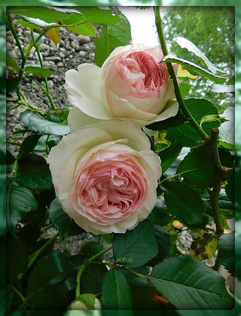 Roses de Ronsard****