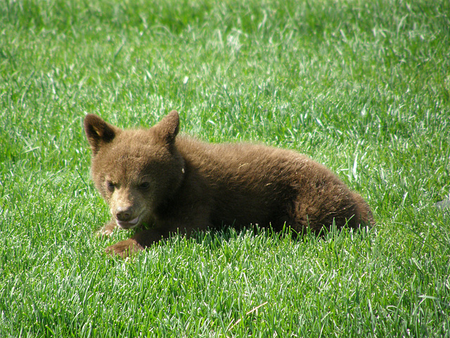 Baby Bear in South Dakota