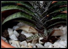 Gasteria bicolor(2)