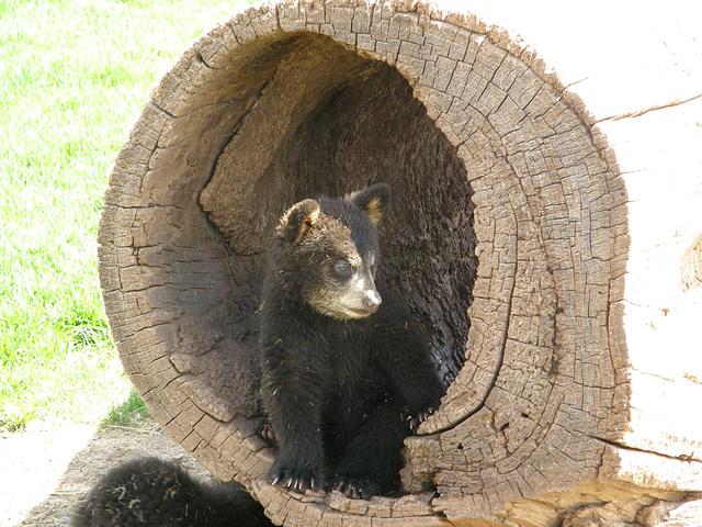Baby Black Bear in South Dakota