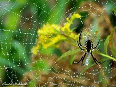 Araignée Jaune et Noir
