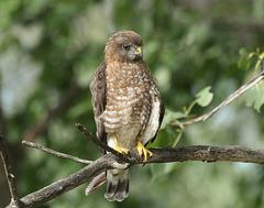 petite buse / broad-winged hawk