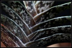 Gasteria bicolor(5)