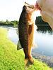 Largemouth Bass, Summer, 2021
