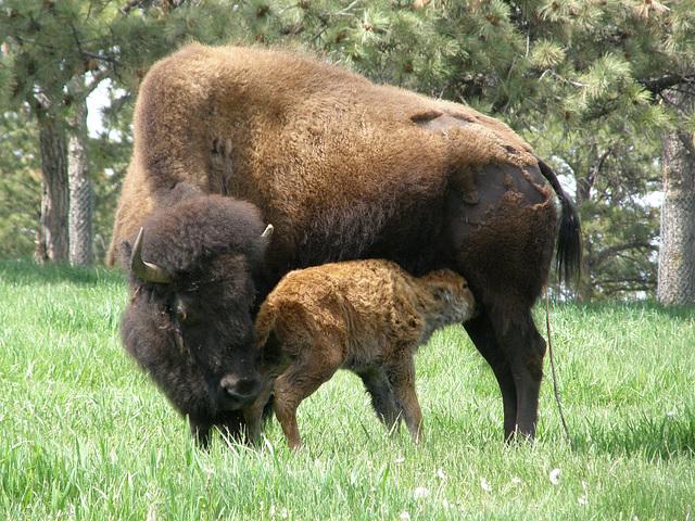 Buffalo and Newborn