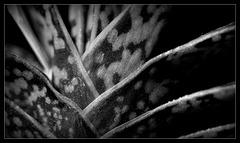 Gasteria bicolor(6)