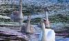 Mute swans.