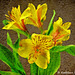 Yellow Tiger Lily - French Kiss Texture - Topaz Impressionistic Swirly Strokes III