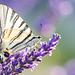 Macro - Old World swallowtail butterfly