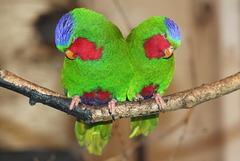 Loris fringillaires = Vini australis (Parc des Oiseaux = Parc ornithologique des Dombes, Villars-les-Dombes) (Ain)
