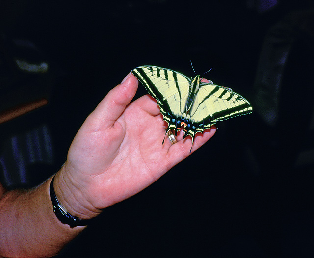 Tigerswallowtailbutterfly resting on hand  p.multicaudata
