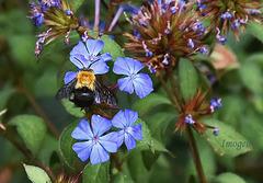Carpenter Bee.