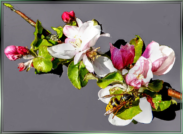 Wasp visits apple blossoms... ©UdoSm