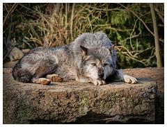 Der traurige Wolf (PiP)