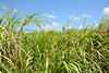 Dominican Republic, The Top Part of the Sugarcane Thickets