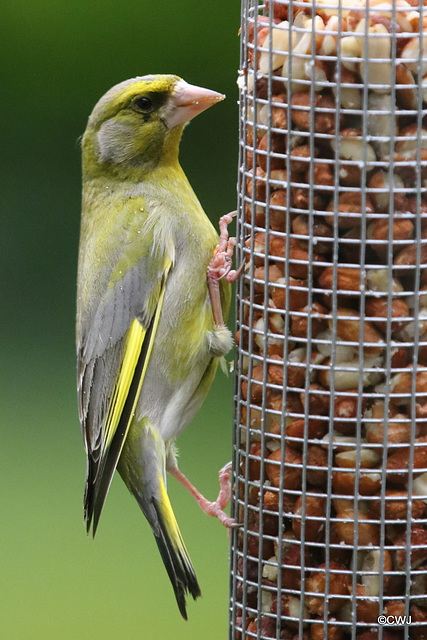 Young Greenfinch in the rain