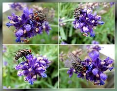 Fliege am Lavendel. ©UdoSm