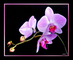 Pink Orchid-2 ©UdoSm